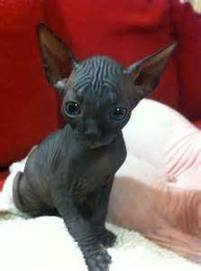 black sphynx cat 10 best sphynx cat names