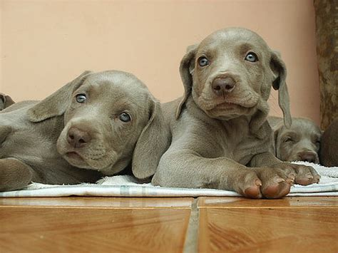 Ee  Puppies Ee   Flickr P O Sharing