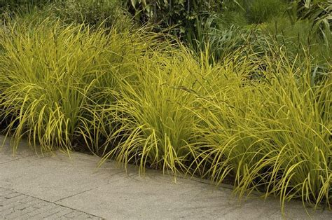 best house plants carex elata aurea bowles golden grass