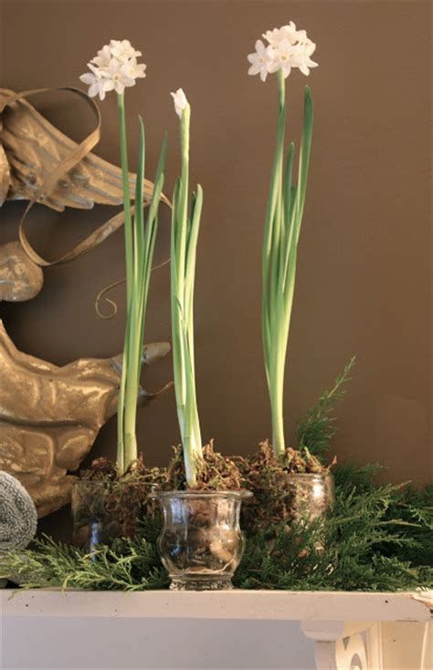 blooming paperwhites are fragrant decor