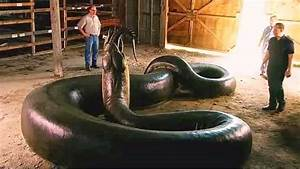 HOLY SHIT..CHECK OUT TITANOBOA MONSTER SNAKE,THE LARGEST ...