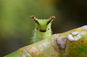 Japanese Emperor Caterpillar: What's Not to Love With a