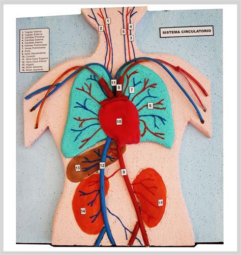 maqueta sistema respiratorio humano sistema circulatorio portafolio
