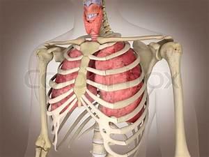 Man Skeleton With Internal Organs 3 D Digital Rendering