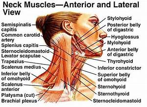 Muscles Of The Face And Neck