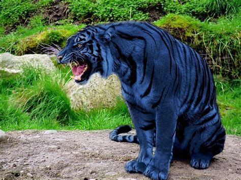 Blue Maltese Tiger Yaya Animals Beautiful