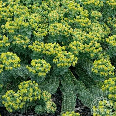euphorbia perennial plant profile for euphorbia myrsinites donkey tail spurge perennial