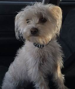 Nana – Maltese/Yorkshire Terrier Mix – Adopted 12/21/13 ...