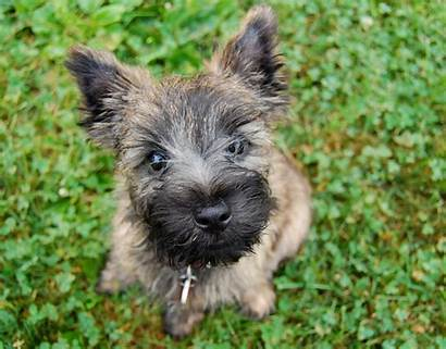 Terrier Cairn Puppy Puppies Rescue Wikipedia Dog