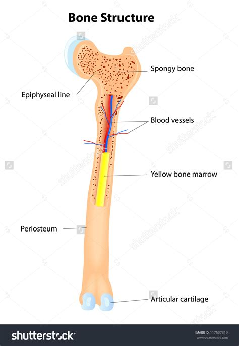 Simple Bone Diagram by Bones Clipart Pencil And In Color Bones Clipart