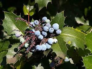 File:Berriy berries holly plants leaves leaf.jpg ...