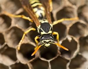 Kosten Wespennest Entfernen : wespennest entfernen was tun um wespen zu beseitigen ~ Watch28wear.com Haus und Dekorationen