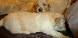 Golden retriever puppies for sale adoption from las vegas for Dog rescue las vegas nv