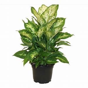 delray, plants, dieffenbachia, exotica, in, 6, u0026quot, , grower, pot