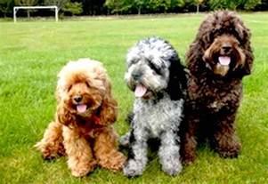cockapoo designer dog breed cocker spaniel poodle hybrid