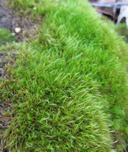 moss plants using georgia native plants marvelous moss