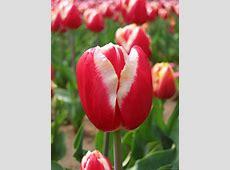 National Flower Of Iran Tulip 123Countriescom