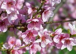 Rosa Blüten Baum : was ist das f r ein baum foto garten pflanzen rosa ~ Yasmunasinghe.com Haus und Dekorationen