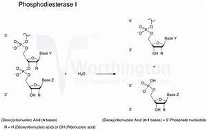 Enzyme Manual  Phosphodiesterase I