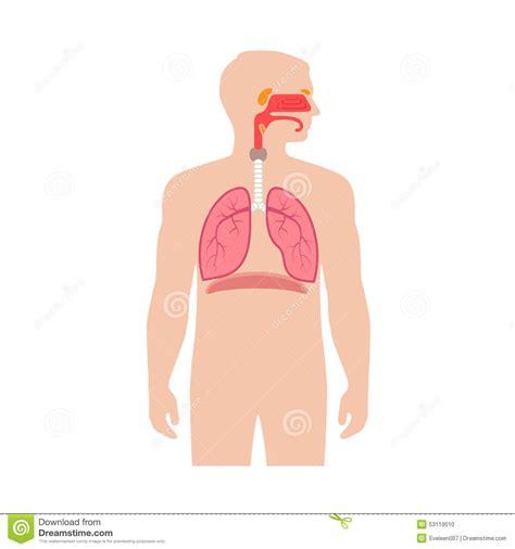 anatomy  human respiratory system stock image