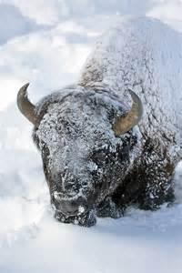 Yellowstone Bison Snow