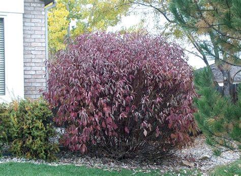 dogwood bush red twig dogwood crafts