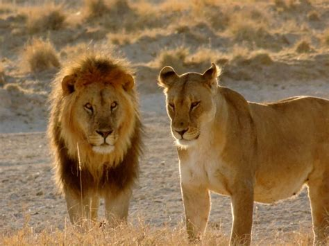 lets   lions learn   african lion alert