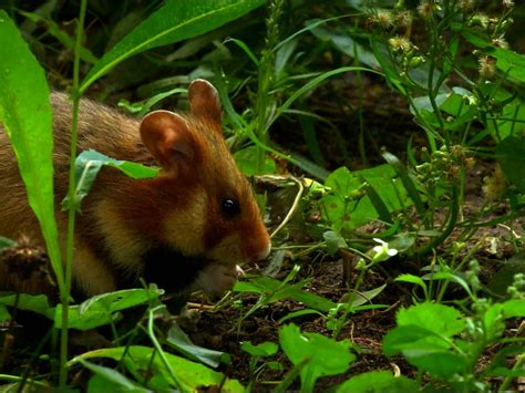 Animals Mouse Hamster Forest Green Grass 1920x1080