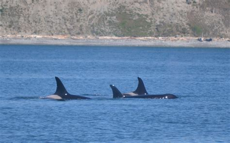 Getting Orca-spoiled In April! Orcas Spotted Again In The