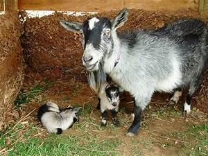 pygmy goats | Our First Nigerian Dwarf Goat Kids! | GOATS ...