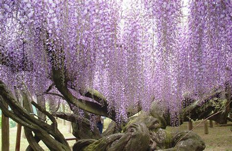 japanese wisteria tunnel travel trip journey kawachi fuji gardens japan