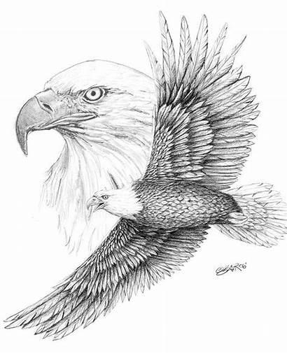 Eagle Bald Sketch Bing Drawing