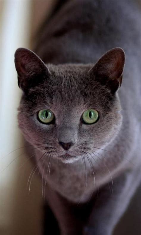 russian blue cat wallpapers android apps  google play