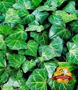 Efeu Pflanzen Kaufen : winterharte pflanzen preisvergleich die besten angebote online kaufen ~ Buech-reservation.com Haus und Dekorationen