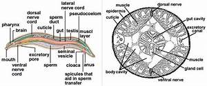Flatworm Internal Anatomy