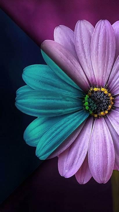 Daisy Flower Sunflower Purple Backgrounds Phone Flowers