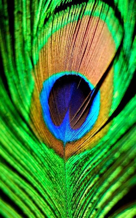 Animated Peacock Wallpapers - hd peacock feather wallpaper android apps on play