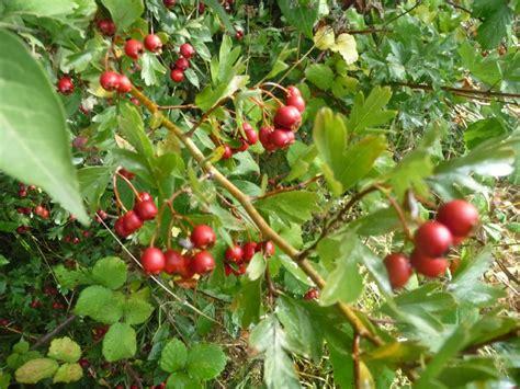 cuisine automne fruits de l 39 épine vinette photo de balade d 39 automne