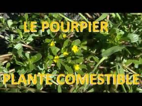 Le Plante by Plante Sauvage Le Pourpier Comestible Et M 233 Dicinale Youtube