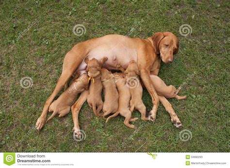 time  food feed hungarian hound puppies stock