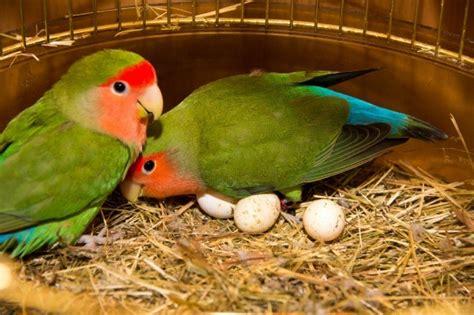 understand lovebird behavior thriftyfun