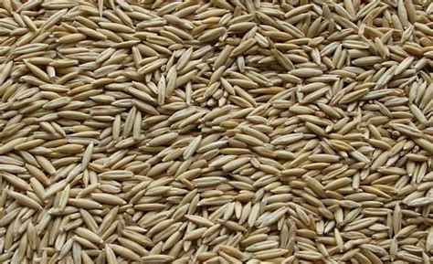 oats cultivation information guide agri farming