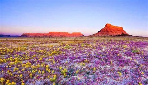 Deserti fioriti, uno spettacolo della natura