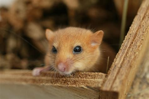 Small rodent species may become endangered