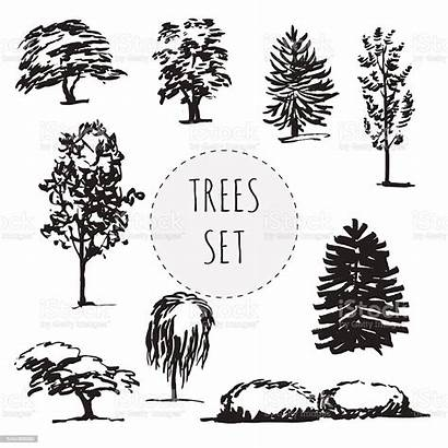 Different Trees Types Drawn Tree Ash Beech