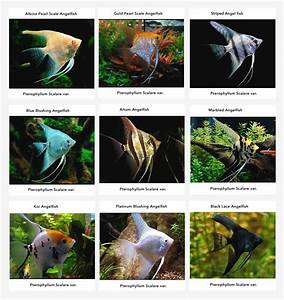 Angelfish Information: Care, Tankmates, Feeding and ...