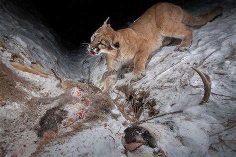 hidden camera traps capture wildlife  wyoming high