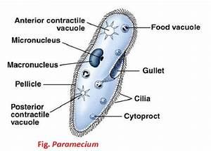 General Description Of Paramecium