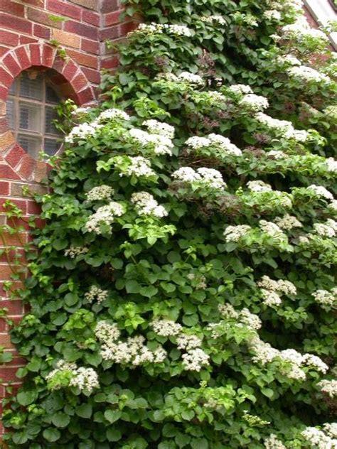 25+ Best Ideas About Climbing Hydrangea On Pinterest