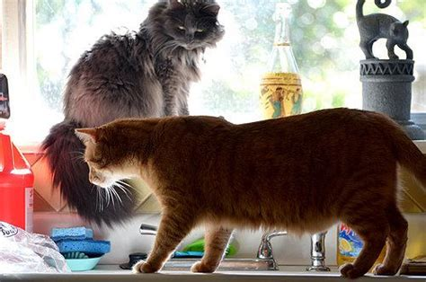 cat jumping   kitchen counter read